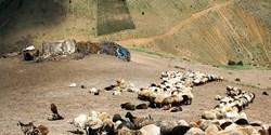 دامداری خراسان جنوبی در لبه پرتگاه/ رد پای دلالان در خرید دام مولد