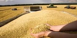چنگال دلالان بر گندم تولید داخل/ چرا کشاورزان گندم را به دولت نمیفروشند؟